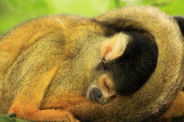 Slapend doodshoofd aapje van Bobsphotography