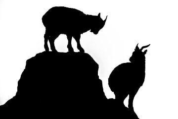 Schwarzweißer Umriss. Wettbewerbsziegen. Zwei Ziegen kämpfen auf dem Gipfel des Granitberges. Der Ge von Michael Semenov