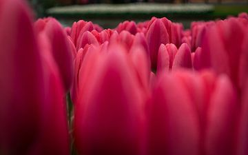 tulpen zee van Victor Droogh
