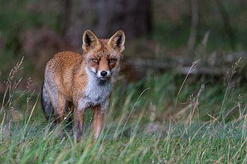 Fox von Joop Bruurs
