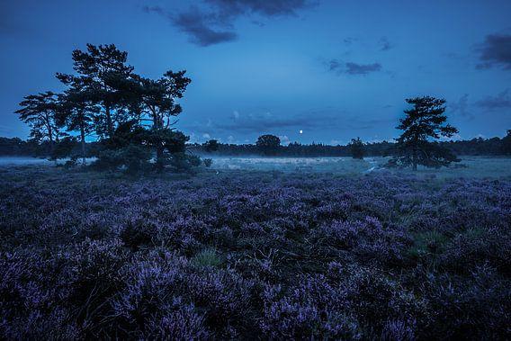 Heideveld tijdens blauwe uur