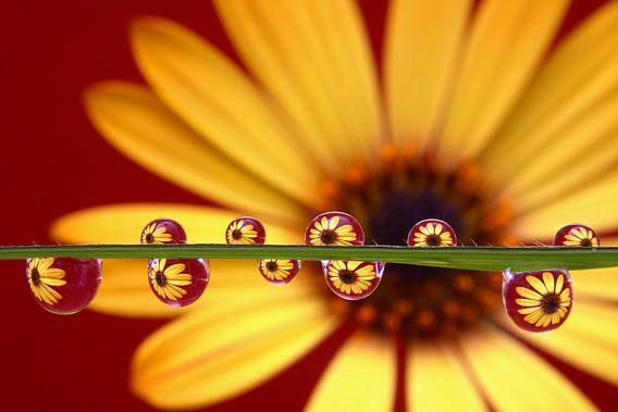 Yellow Beauty, gele Margriet in waterdruppels