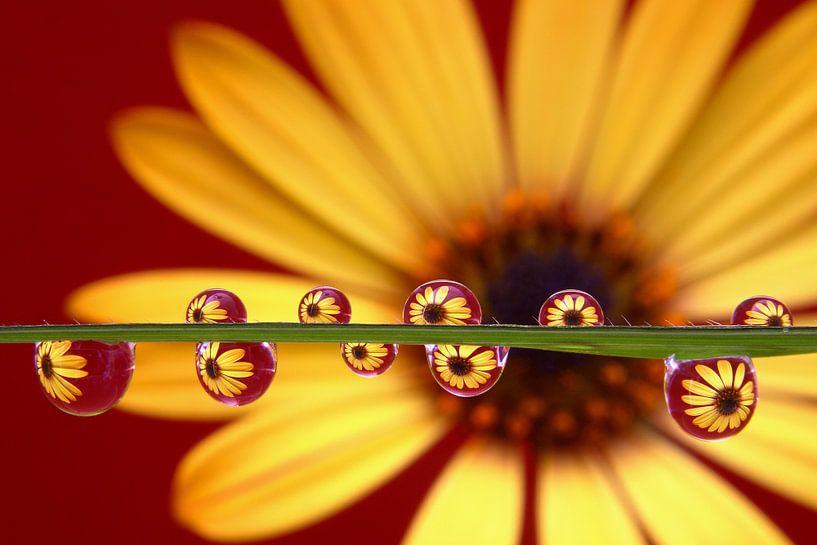 Yellow Beauty, gele Margriet in waterdruppels van Inge van den Brande