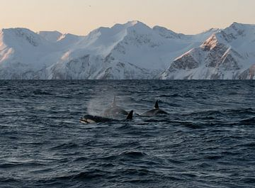 Orcas-Truppe von Merijn Loch