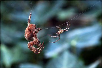 Liefde der spinnen  van Alice Sies
