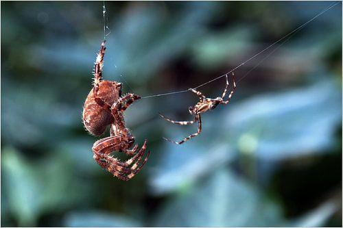 Liefde der spinnen