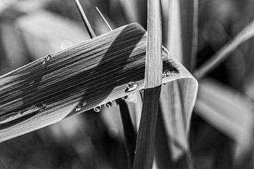 Schilfrohr von Rob Boon