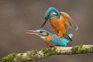 Eisvögel bei der Paarung von Jeroen Stel