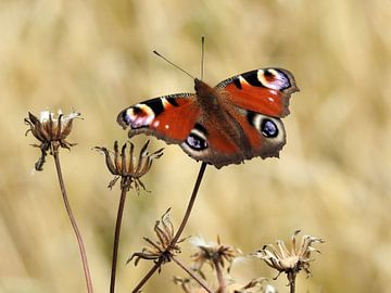 Peacock butterfly van Ioana Hraball