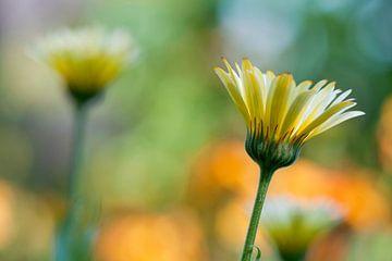 Goudsbloem (Calendula officinalis) van Tamara Witjes