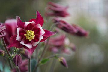 Blüte in der Knospe von Maurits Eykman