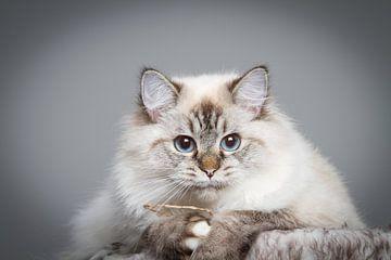 Ragdoll Kitten  van Malu de Jong