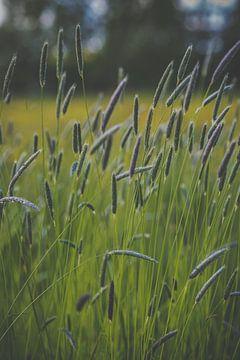Gräser in voller Blüte sur Daniël Steenbergen