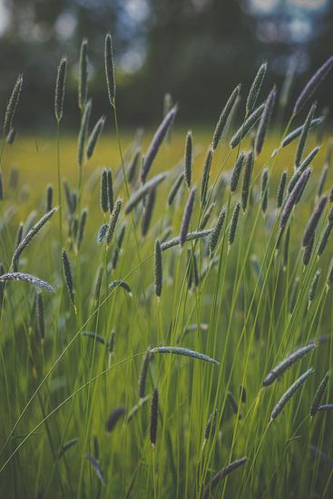Grassen in bloei van Daniël Steenbergen