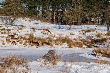 Damhirsch Amsterdam Wasserversorgungsdünen im Schnee von Merijn Loch