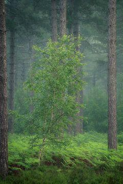 Eine schöne frischgrüne Birke zwischen den Farnen. von Jos Pannekoek