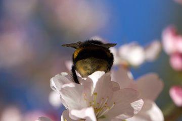 Bloesem met bij in de lente van Discover Dutch Nature