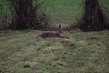 Ein laufender Hase von Christian Van Ettekoven