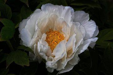 Witte Paeonia van Claudia Moeckel