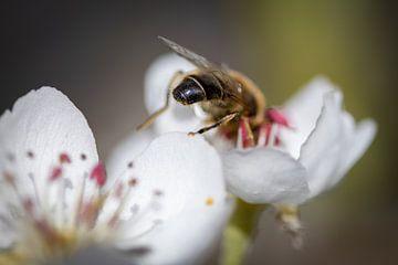 Biene auf Birnenblüte von Arjan Boer