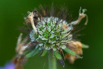bloem von Carolina D'Andrea