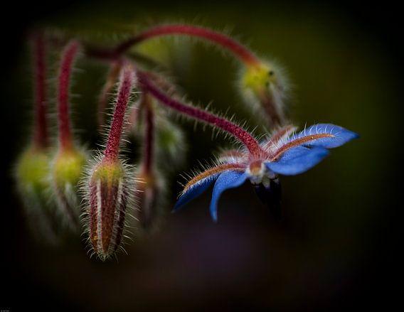 Small blue beauty sur Greetje van Son