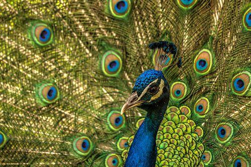 Pauw laat zijn staartveren zien van Michel Vedder Photography