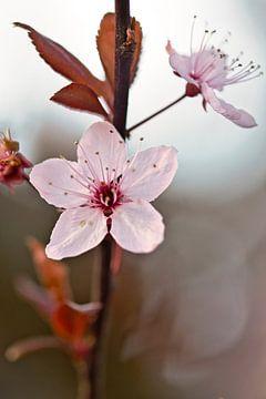 roze bloesems van Lindy Schenk-Smit