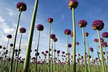 Ornamental onion or Allium aflatunense sur