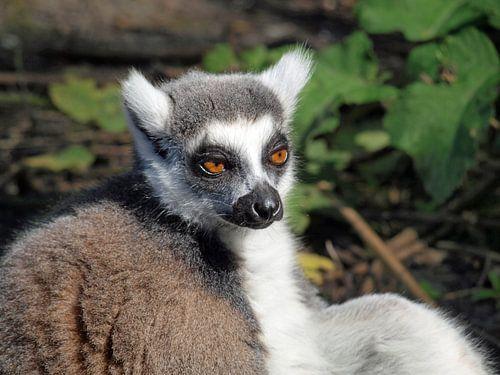 lemur , ringstaart aapje van