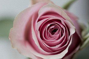 Rose traitée avec la technique de la peinture à l'huile