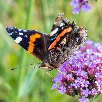 Schmetterling (Vanessa atalanta) auf Blüte (Verbena bonariensis) von Lieven Tomme