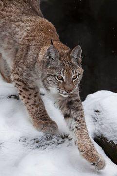 Slanke boskattenlynx strekt zich sierlijk uit, bereidt zich voor om te springen, op de achtergrond v van Michael Semenov