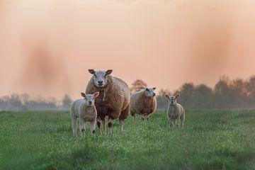 Sonnenaufgang mit Schafen und Lämmern von Rossum-Fotografie