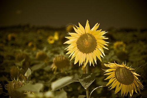 Vrolijke zonnebloem van Wim Slootweg
