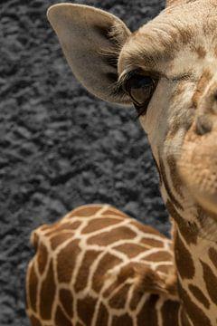 Giraffe nieuwsgierige aagje van dichtbij  von R Alleman