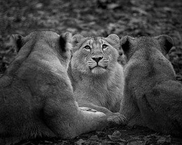 Löwenjunges in der Mitte in Schwarz-Weiß von Patrick van Bakkum