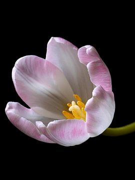 Tulp 3 von Jonathan Kremer