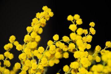 Mimose Blumen von Ingrid de Vos - Boom