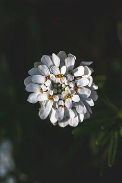 Weiße Blume von Isa V
