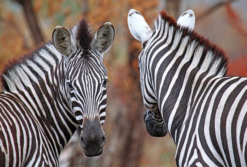 Vor und zurück - Afrika wildlife van W. Woyke