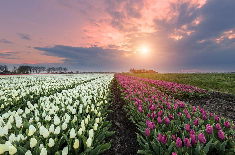 Eerste tulpen lente 2016 van Costas Ganasos