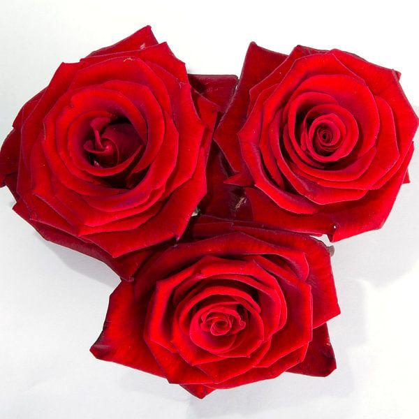 Rode roos van Menno Schaefer