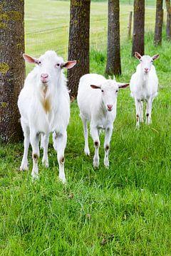 Witte geiten in gras met boomstammen van Ben Schonewille