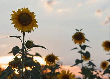 Zonnebloem bij zonsondergang van Carole Winchester