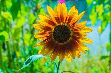 zonnebloem kleurijk van Tom Poelstra
