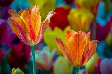 Bunte holländische Tulpen von Jayzon Photo