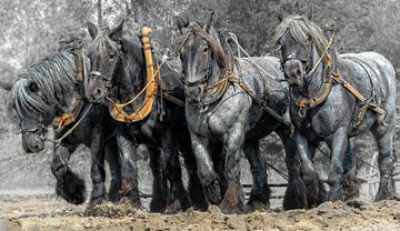 Zeeuwse trek-ploeg paarden van Carina Dumais