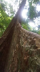 Close up, de Pterocarpus officinalis boom, Tiger cave Tempel in Tropisch regenwoud, Krabi Noi, Thail van