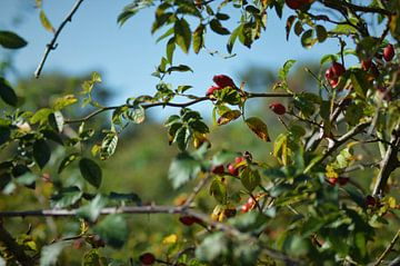 Herfstige rozenbottels van Lisanne Rodenburg